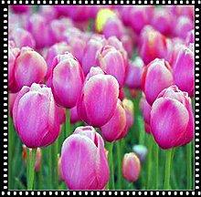 Tulipani Bulbi Pianta in vaso Arricchimento