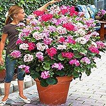 Vistaric Raro semi di geranio rampicante Geranium