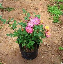 Vite piantine di rose giardino rampicante piantine