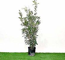 Vivai Frediani Quercus Ilex cespuglio