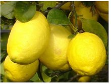 Vivai Gardenhome - Limone Imperiale Cespuglio