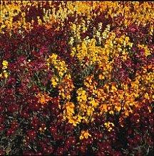 WallFlower - Tappeto persiano per 250 semi